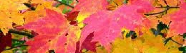 cropped-maple-leaves.jpg