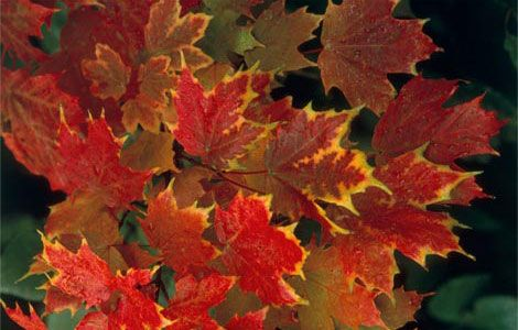 2-red-leaves-523310_13826_600x450